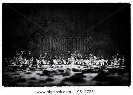 Vintage Black And White Photo Of Large Group Of Fallow Deer Standing In A Row Near Forest.