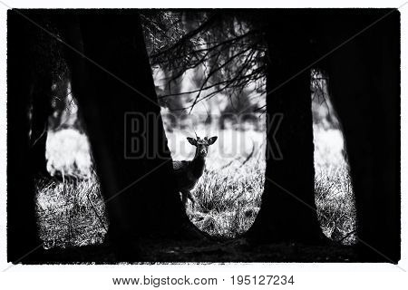 Old Black And White Photo Of Fallow Deer Buck Peeking Between Trees Of Forest.