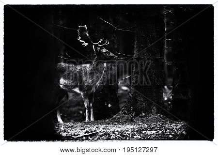 Old Black And White Photo Of Fallow Deer Buck Between Trees In Dense Forest.