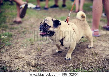 Walk Pug with Leash Dog Pet Outdoors