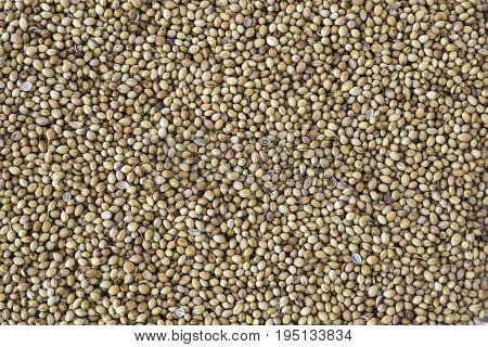 Dried coriander seeds (Coriandrum sativum) or dhaniya background