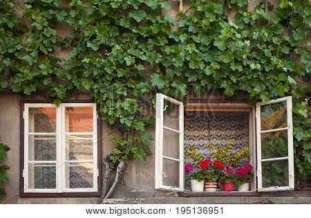 Old window on old rural house which is covered with grapevine