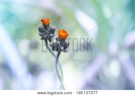 Small orange flowers on a gentle background . The flowers are gently entwined.Beautiful artistic image.