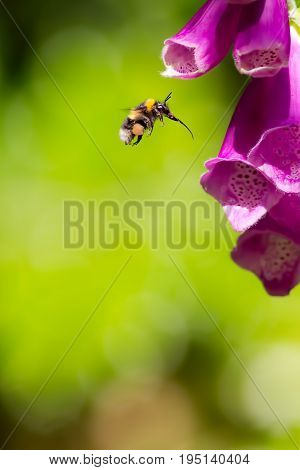 Bumble bee with full pollen sac and extended proboscis hovering in front of foxglove flower. Macro insect photography. Summer garden pollination.