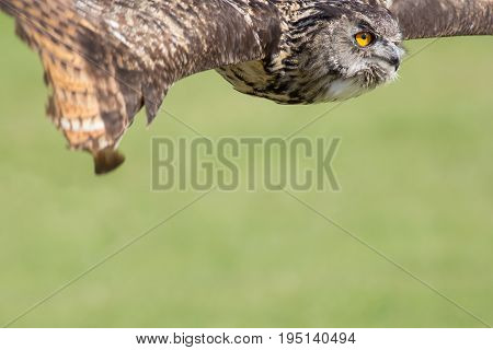 Owl flying. Bird of prey in flight with copy space. Eagle owl in level flight at top border. Countryside wildlife display or show poster or banner image.