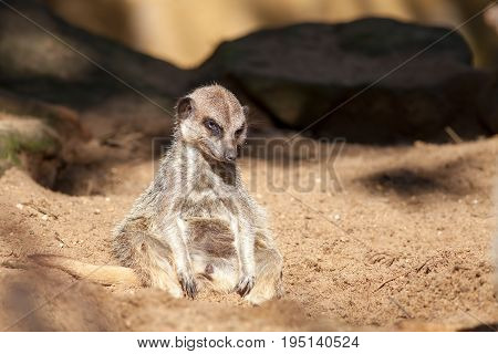 Depressed animal. Bad day at work for a lonely tired meerkat. Funny cute animal meme image.