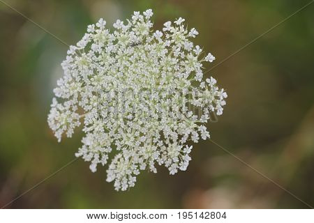 Queen Anne's lace (Daucus carota) grows wild