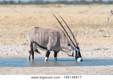 An oryx also called gemsbok Oryx gazella drinking water at a waterhole in Northern Namibia