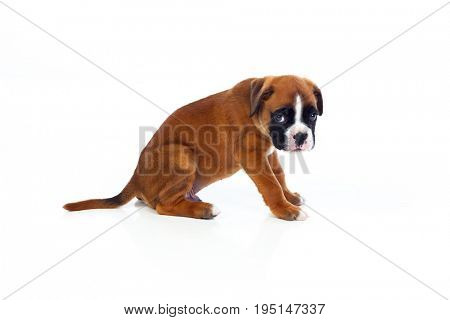 Adorable boxer puppy sitting on a isolated white background