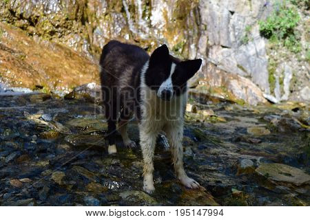 White and black colored dog standing in cold water on rocks background. Summer heat.