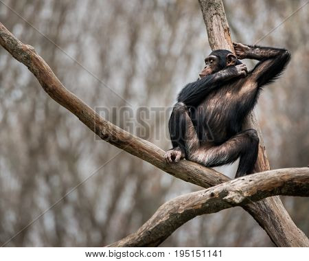 Young Chimpanzee Sleeping Between Two Tree Branches