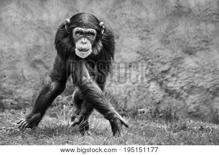 Blackand White Young Chimpanzee Walking Sideways on Grass