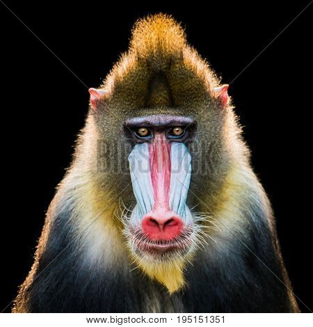 Frontal Portrait of a Backlit Male Mandrill Against a Black Background