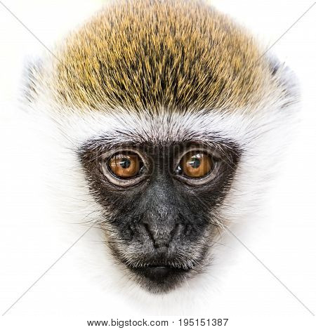 Frontal Portrait of a Baby Grivet Monkey Against a White Background