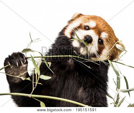 Frontal Portrait of a Red Panda Eating Bamboo