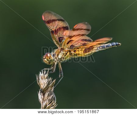 Profile Portrait of a Halloween Pennant Dragonfly Perched on a Grass Stalk