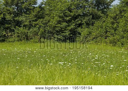 Beautiful landscape of summer nature with green glade, fragrant blossom  wildflower and forest, Central Balkan mountain, Stara Planina, Bulgaria