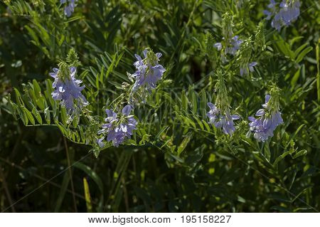 View of a cluster of crown vetch, vicia sativa or coronilla varia  wildflower on the meadow, Central Balkan mountain, Stara Planina, Bulgaria poster