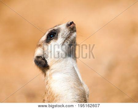 Portrait of meerkat, aka suricate - Suricata suricatta. Kalahari desert, Botswana, Africa