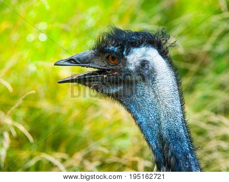 Portrait of emu with open beak. The second largest bird of World endemic to Australia.