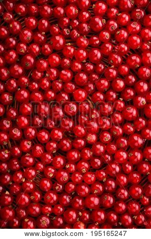 Close-up picture of a delicious, ripe and bright red currant in an upright position. Currant different shades of bright red color.  Juicy, raw, fresh, tasty, healthy, nutritious concept.