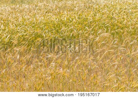 Wheat Field In Vale Seco, Santiago Do Cacem