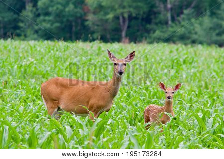 Deer with fawn in cornfield looking at the camera