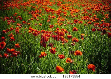 field of red poppy seed flower on green stem as background summer and spring drug and love intoxication opium