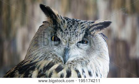 Portrait of a beautiful eagle owl Russia