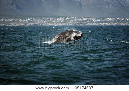Southern smooth whale jumping out of the water South Africa