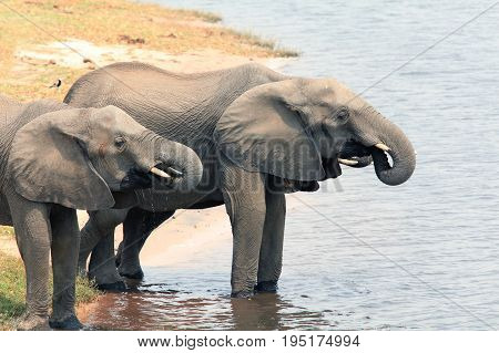 African elephants drinking water from the river Chobe Botswana