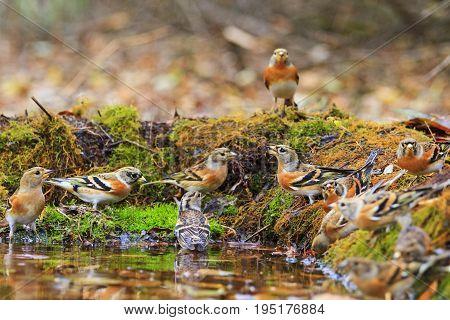 Wild birds among autumn fallen leaves, Wildlife, autumn day, brambling, fringilla montifringilla