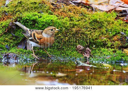 Brambling among green moss on a watering place, Wildlife, autumn day, fringilla montifringilla