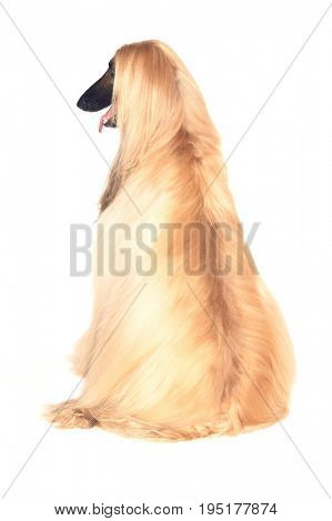 Rear view of Afghan hound sitting against white background