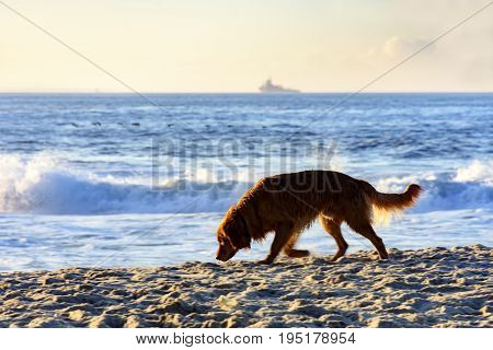 Dog walking on the sands of the beach during sunrise in Rio de Janeiro