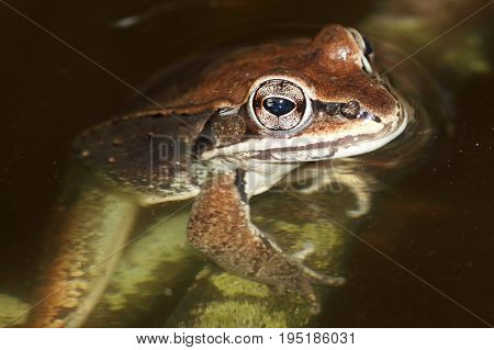 Wood Frog (Rana sylvatica) in a pond poster