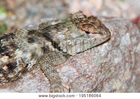 Twin-spotted Spiny Lizard (Sceloporus bimaculosus) in New Mexico