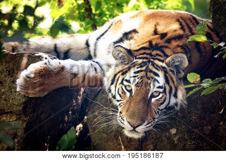 Siberian or Amur tiger resting in the undergrowth on a sunny day. This tiger is indigenous to far eastern Russia.