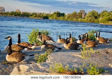 Beautiful Canada geese at the river. Sunset
