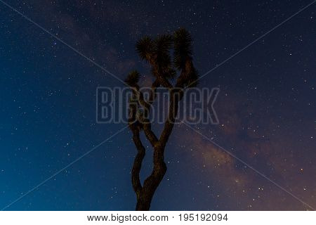 A Joshua Tree Stands Tall With The Milky Way Behind