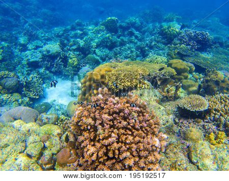 Underwater landscape with red coral reef. Diverse coral ecosystem. Blue sea water view. Tropical fish in wild nature. Seabottom perspective. Natural aquarium in tropical lagoon. Exotic sea snorkeling