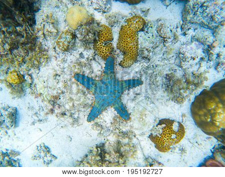 Starfish on sand seabottom. Undersea landscape with star fish. Tropical fish in wild nature. Sea bottom top view. Natural aquarium in tropical lagoon. Exotic sea snorkeling. Blue and orange starfish