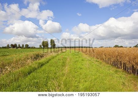 a golden rapeseed crop near a sugar beet field with trees on the horizon under a blue summer sky with white cloud in yorkshire
