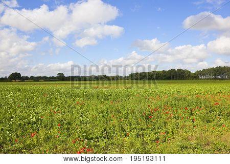 Poppies And Sugar Beet