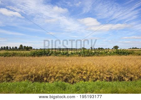 golden ripe rapeseed crop with a hedgerow and trees on the horizon under a summer blue sky with wispy white cloud in yorkshire
