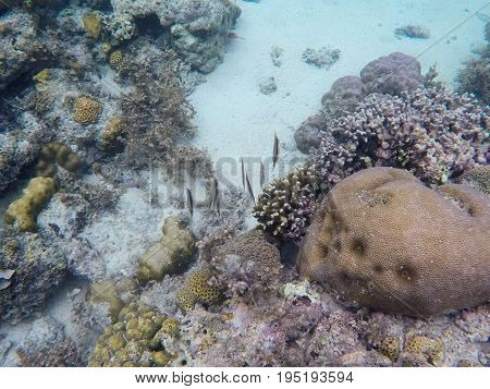 Coral reef and tropical fish. Narrow coral fish underwater photo. Tropical saltwater species. Underwater wildlife animal family. Exotic seashore. Diverse coral shapes. Snorkeling in tropical seashore