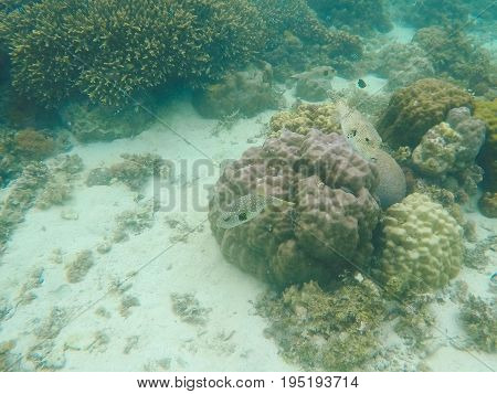 Underwater landscape with coral reef. Diverse coral shapes. Tropical fishes in wild nature. Sea bottom with young coral ecosystem. Pufferfish in wild nature. Puffer fish in coral reef. Tropical fish
