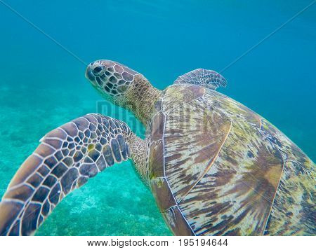 Green sea turtle closeup in shallow sea water. Sea turtle closeup. Snorkeling or diving with tortoise. Wild green turtle in tropical lagoon. Sea environment with animals and seaweeds. Marine tortoise