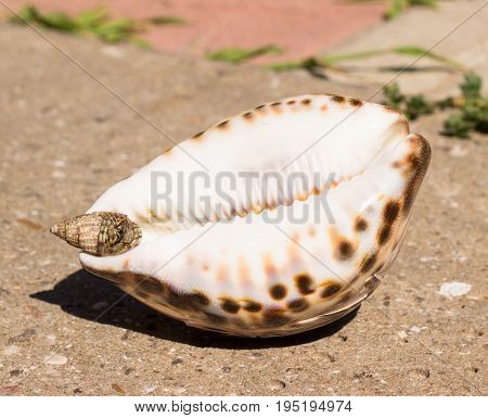 Sea shells on concrete one big and the second small with sea cancer inside is his house