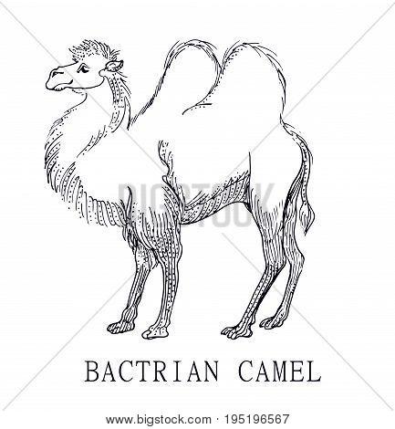 Bactrian camel, Illustration sketch of Camelus bactrianus